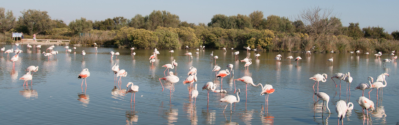Camargue - Flamants Rose